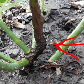Как уберечь розы от перерастания в шиповник