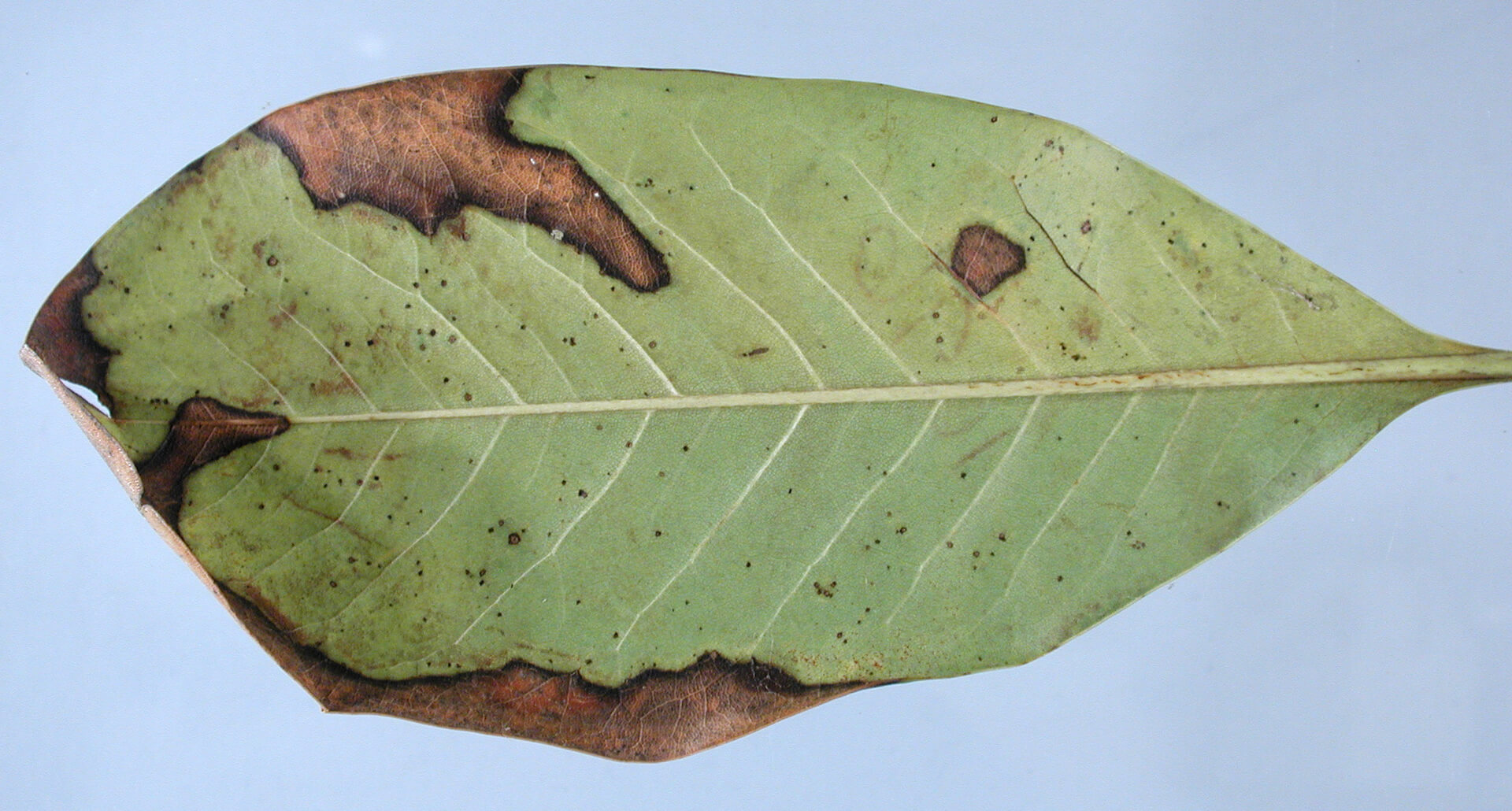 Филлостиктоз листьев роз
