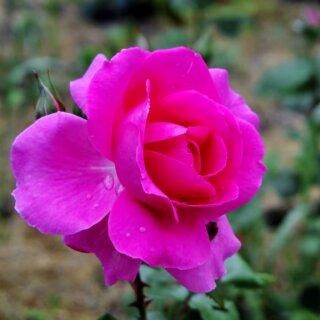 Розы без шипов - как вырастить в саду
