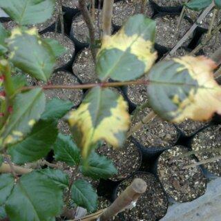 Вирус кольцевой пятнистости томата на розах, причины возникновения болезни