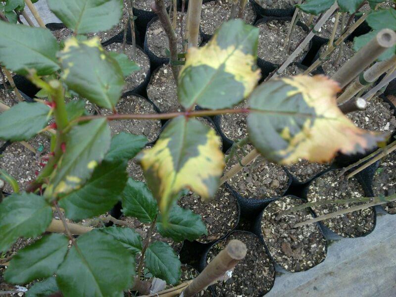 Вирус кольцевой пятнистости томата на розах