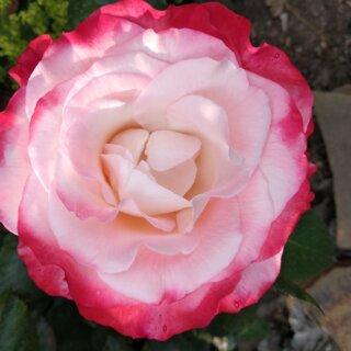 Новая фотография от посетителя к сорту Nostalgie — нестандартная чайно-гибридная роза с контрастной расцветкой из Германии