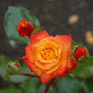 Особенности розы Мамбо (Mambo)