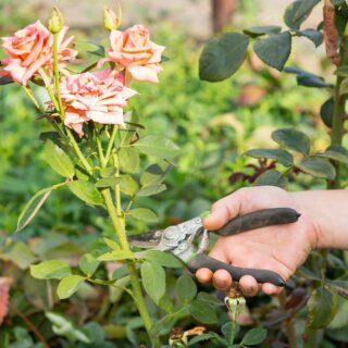 Правильная срезка роз для букета, как срезать розы и продлить им срок жизни