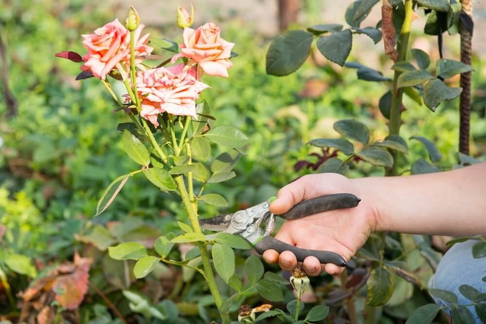 Срезка роз