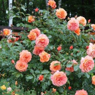 Как вырастить розу Бельведер