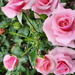 Новая фотография от посетителя к сорту Bonica – раскидистый кустарник с нежно-розовыми бутонами от Meilland