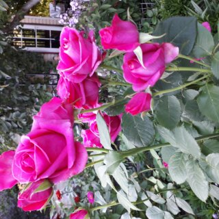 Новая фотография от посетителя к сорту Shakira роза — яркий многолетник с легким ароматом