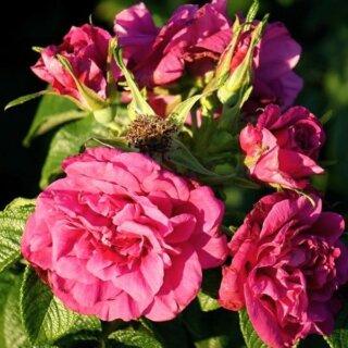 Морщинистые розы и их выращивание