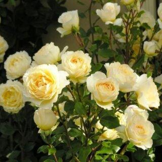 Irish Hope - английская роза с медово-цитрусовым ароматом