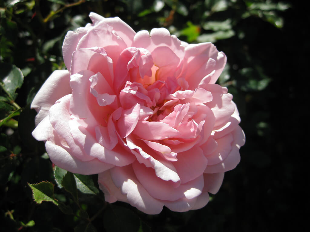 Альбертин роза