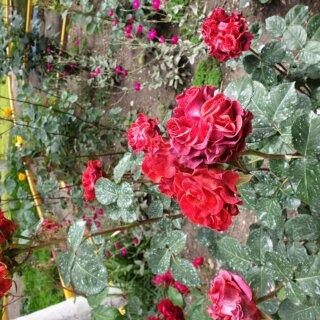 Новая фотография от посетителя к сорту Hearts — чайно-гибридная роза от нидерландских селекционеров компании Jan Spek Nurseries