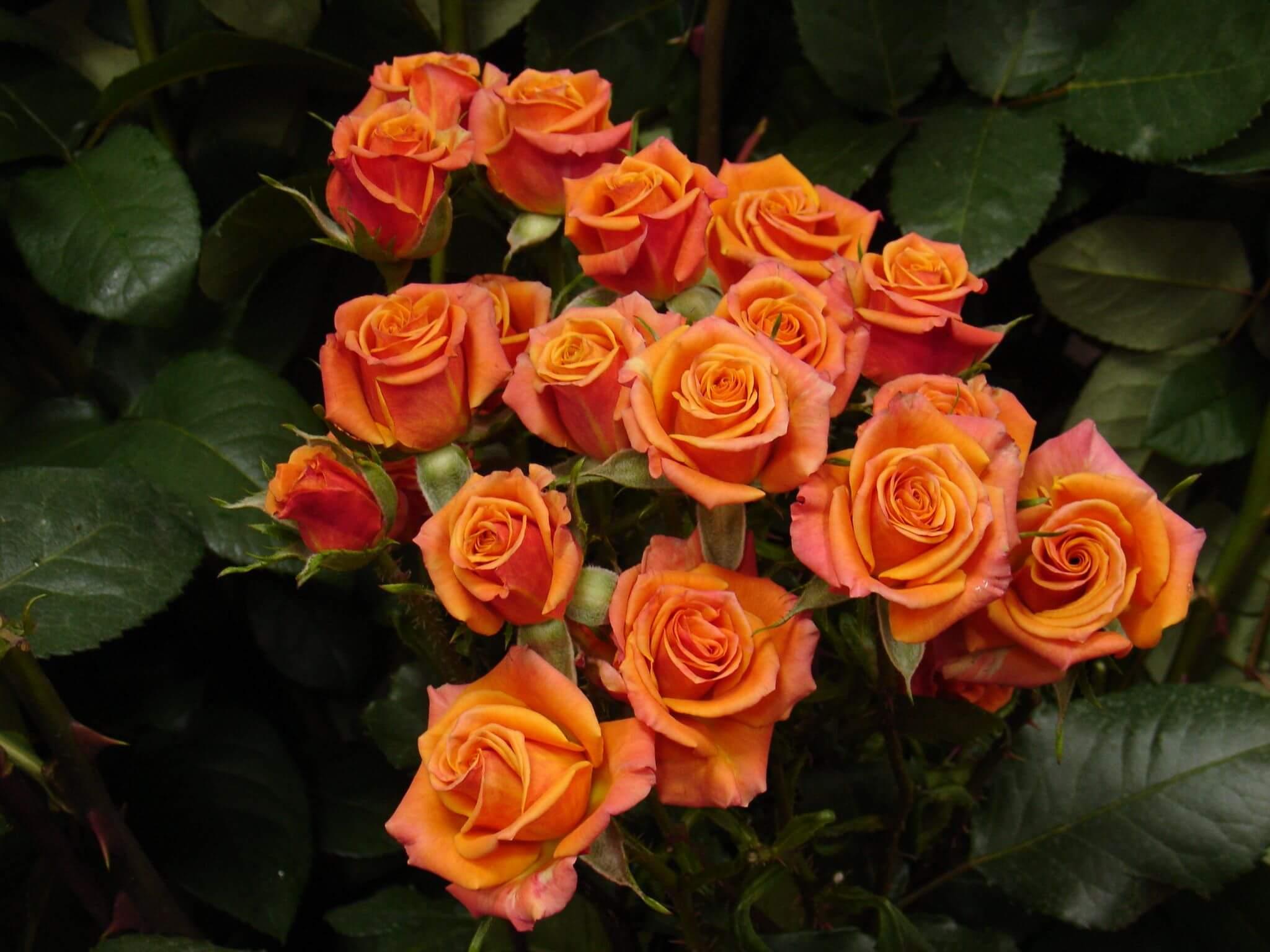 Роза Мамбо