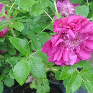 Характеристики парковой розой Souvenir de Trelaze (Сувенир из Трелазе)