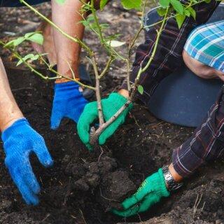 Пересадка розы на новое место - как справиться с задачей и не повредить растение