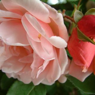 Альбертин роза (Albertine) - плетистая роза с душистым ароматом