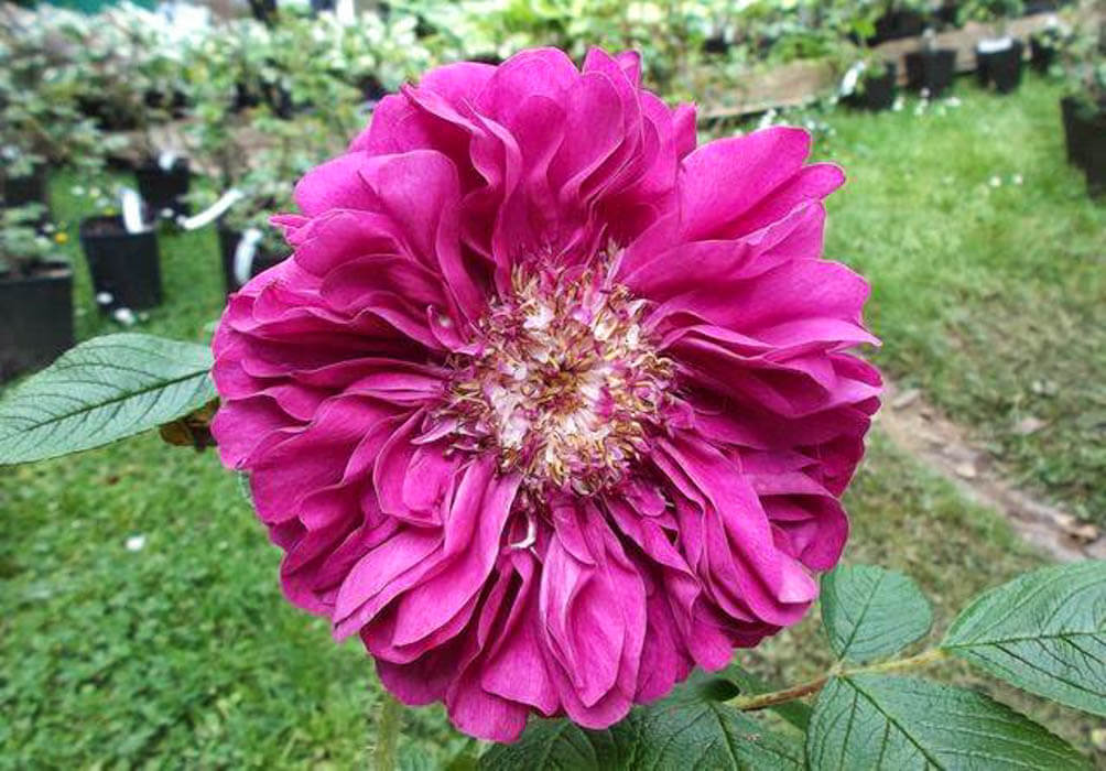 Souvenir de Trelaze роза