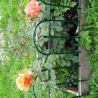 Новая фотография от посетителя к сорту Westerland — плетистая роза-шраб от селекционера Кордес