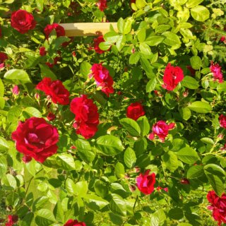 Новая фотография от посетителя к сорту Flammentanz — яркая плетистая роза от Kordes