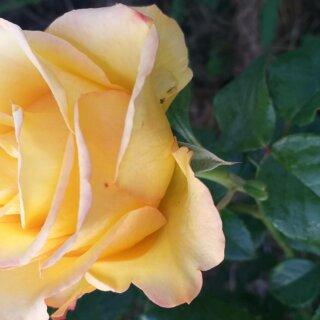Новая фотография от посетителя к сорту Kerio — солнечная чайно-гибридная голландская роза
