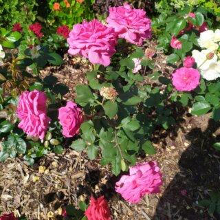 Новая фотография от посетителя к сорту Duftrausch — чайно-гибридный сорт роз от немецкой компании Tantau