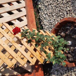 Новая фотография от посетителя к сорту Santana — кроваво-алая плетистая роза от Tantau