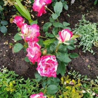 Новая фотография от посетителя к сорту Double Delight – эффектная чайно-гибридная роза из США, окрашенная в контрастные белые и малиновые тона