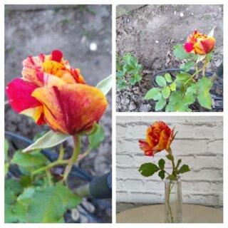 Новая фотография от посетителя к сорту Файер Флеш (Fire flash) – миниатюрная роза без острых шипов