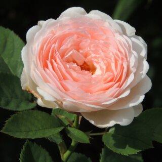 Clara's Choice - чашеобразные розы с нежным ароматом