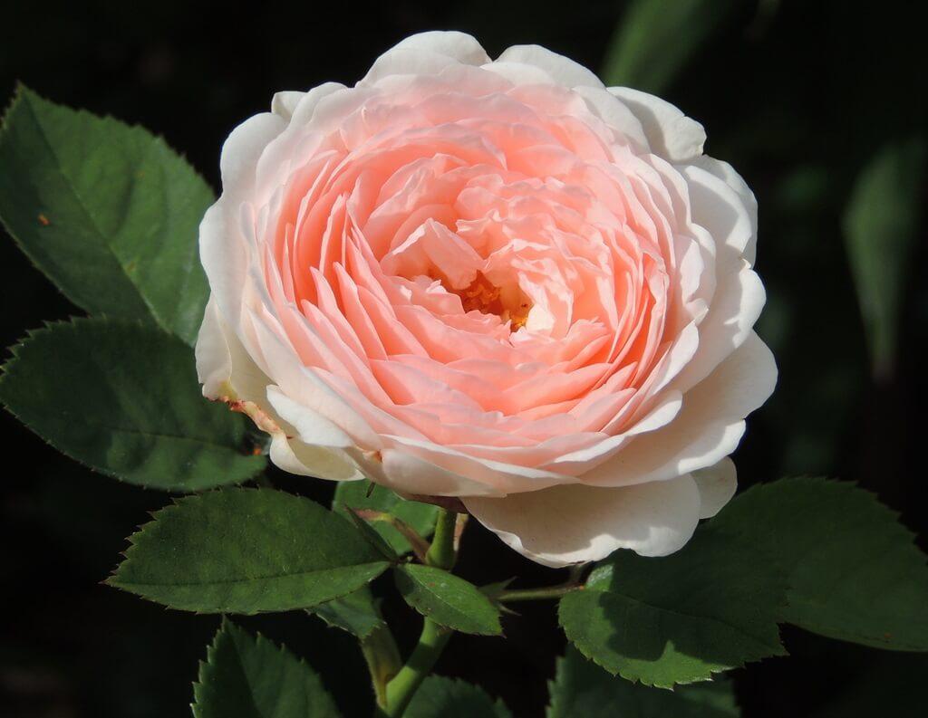 Clara's Choice роза