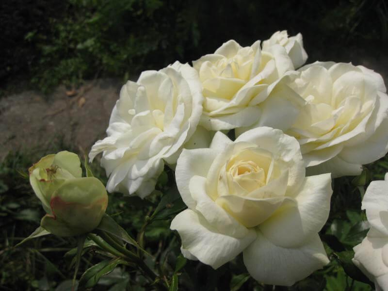Роза Ла Палома