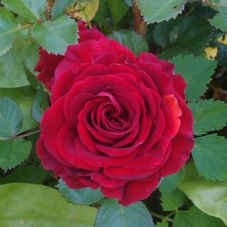 Bordeaux роза - обильноцветущая флорибунда с легким ароматом