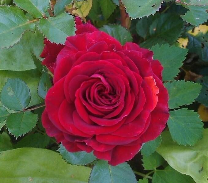 Bordeaux роза