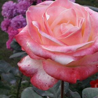 Новая фотография от посетителя к сорту Belle Perle – чайно-гибридная роза кремового цвета с розовыми разводами от компании Delbard