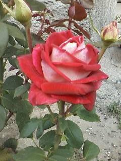 Новая фотография от посетителя к сорту Luxor — необычная «шелковая» роза биколор чайно-гибридной разновидности из Нидерландов