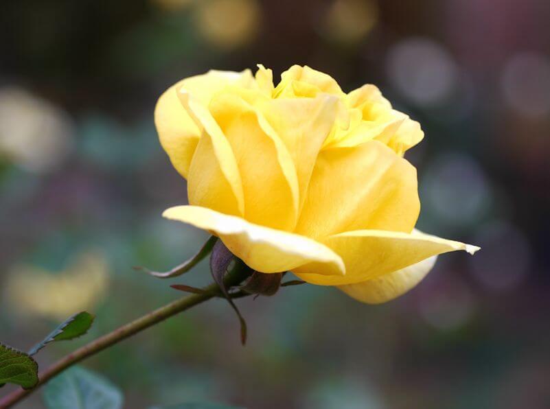 Солидор роза