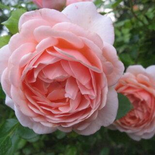 Aphrodite - ветвистый сорт розы с пряным ароматом