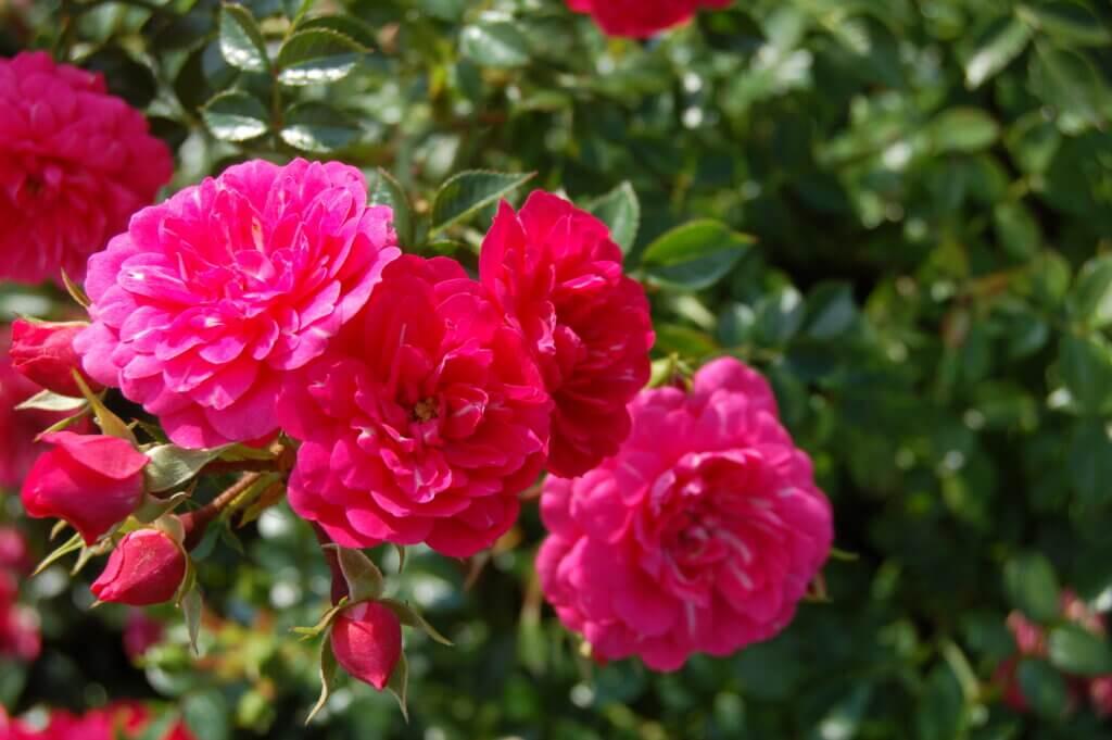 розы Knirps