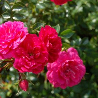 Knirps - роза с лепестками, которые не выгорают на солнце