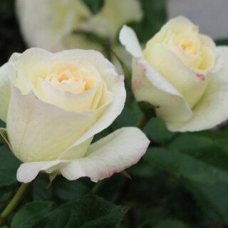 La Paloma - непрерывноцветущая нежная роза