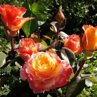 Солидор - привлекательная желтая роза с махровыми лепестками