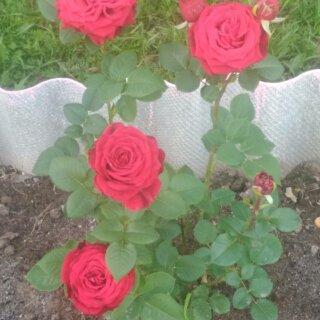 Новая фотография от посетителя к сорту Red Naomi – голландская чайно-гибридная роза от Schreurs