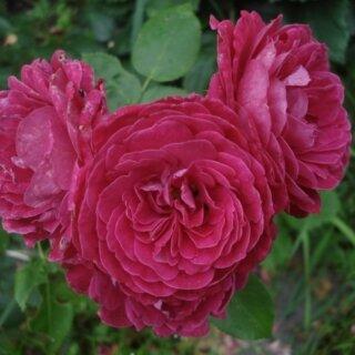 Роза сорта Домейн-де-Ст (Domain de St) - флорибунда, устойчивая к болезням и вредителям