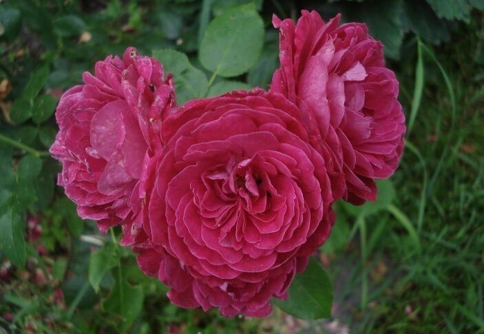 Роза Домэн дэ Ст