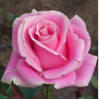 Фосфор - сорт розы, который светится в темноте