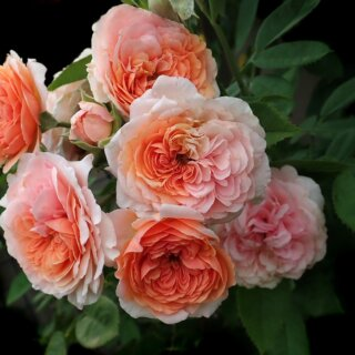 Леандр (Leander) - английская роза с насыщенным ароматом