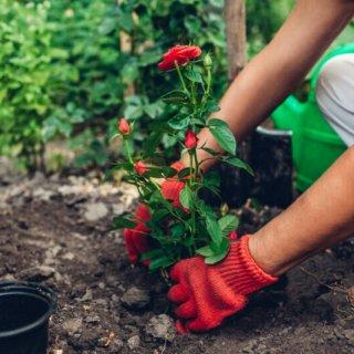 Интервью со специалистом: Как улучшить плодородность почвы для розы