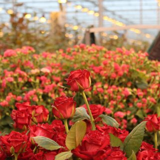 Как правильно ухаживать за розой в теплице, интервью с экспертом