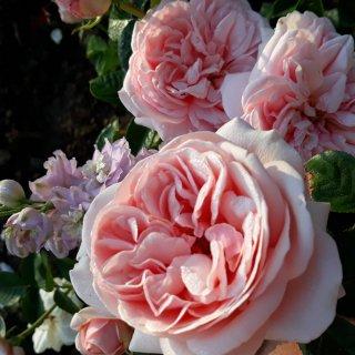 Новая фотография от посетителя к сорту Aphrodite — ветвистый сорт розы с пряным ароматом