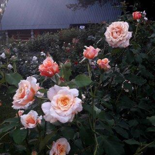 Новая фотография от посетителя к сорту Caramella — шраб с янтарными розами от Kodes